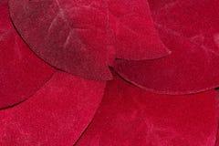 Κόκκινο Poinsettia φεύγει επάνω κοντά στοκ φωτογραφία