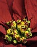 Κόκκινο Poinsettia Pistil και Stamen με τα πεντάλια στοκ φωτογραφία με δικαίωμα ελεύθερης χρήσης
