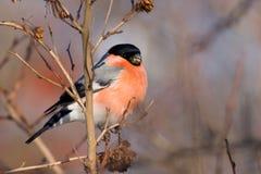 κόκκινο pyrrhula aka bullfinch Στοκ Εικόνα