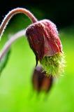 κόκκινο rivale geum λουλουδιών Στοκ εικόνα με δικαίωμα ελεύθερης χρήσης