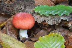 κόκκινο russula φύλλων Στοκ Εικόνες