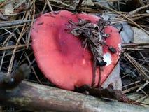 κόκκινο russula Στοκ εικόνα με δικαίωμα ελεύθερης χρήσης