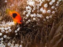 Κόκκινο saddleback anemonefish στο Anemone Στοκ Φωτογραφίες