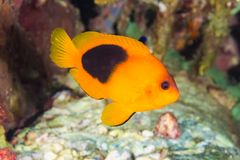 Κόκκινο Saddleback ephippium Anemonefish Amphiprion Στοκ Εικόνες