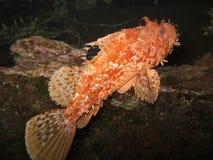 Κόκκινο scorfa Scorpaena σκορπιών Στοκ Εικόνα