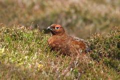 κόκκινο scotica lagopus αγριόγαλλων Στοκ φωτογραφία με δικαίωμα ελεύθερης χρήσης
