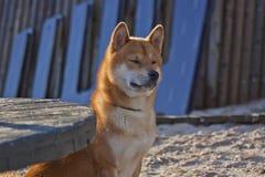 Κόκκινο Siba που περιμένει τον κύριό του στοκ φωτογραφίες