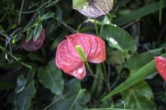 Κόκκινο Spadix τα λουλούδια στο φύλλωμα υποβάθρου κήπων Στοκ εικόνα με δικαίωμα ελεύθερης χρήσης