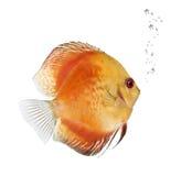 κόκκινο symphysodon ψαριών πυρκαγιά& Στοκ φωτογραφίες με δικαίωμα ελεύθερης χρήσης