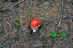 Κόκκινο toadstool Στοκ Εικόνες