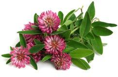 κόκκινο trifolium τριφυλλιού pratense Στοκ Εικόνες