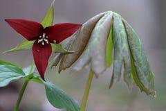 Κόκκινο Trillium & μπορεί Apple Στοκ Φωτογραφίες