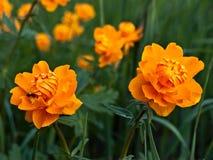 κόκκινο trollius λουλουδιών Στοκ Εικόνες