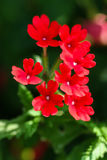 κόκκινο verbena Στοκ εικόνα με δικαίωμα ελεύθερης χρήσης