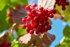 Κόκκινο viburnum στον ήλιο στοκ εικόνες