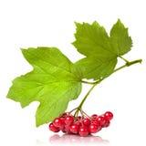 κόκκινο viburnum φύλλων μούρων στοκ φωτογραφία με δικαίωμα ελεύθερης χρήσης