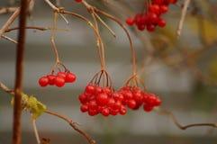Κόκκινο viburnum Στοκ Εικόνα