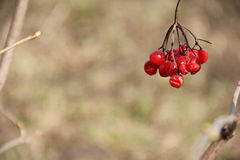 Κόκκινο viburnum Στοκ Εικόνες