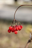 Κόκκινο viburnum Στοκ εικόνα με δικαίωμα ελεύθερης χρήσης