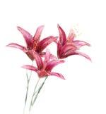 Κόκκινο watercolor λουλουδιών κρίνων Στοκ φωτογραφίες με δικαίωμα ελεύθερης χρήσης