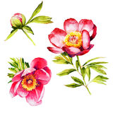 Κόκκινο watercolor λουλουδιών Peony Στοκ Εικόνες