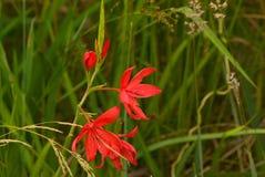 Κόκκινο Watsonias στις άγρια περιοχές στοκ εικόνες