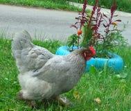 Κόκκορας ή κοτόπουλο Στοκ Φωτογραφία