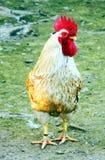 Κόκκορας, απομονωμένος κόκκορας στη χλόη Στοκ Φωτογραφία