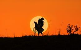 Κόκκορας ενάντια στο φως του ήλιου Στοκ Φωτογραφίες