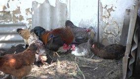 Κόκκορας και κοτόπουλο στο χωριό απόθεμα βίντεο
