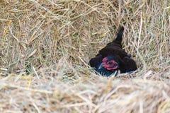 Κόκκορας και κοτόπουλα που βόσκουν στη χλόη Στοκ Εικόνες