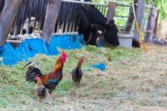 Κόκκορας και κοτόπουλα που βόσκουν στη χλόη Στοκ Εικόνα
