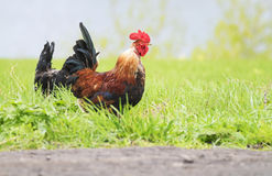 Κόκκορας και κοτόπουλο που περπατούν στη χλόη στη θερινή επαρχία Στοκ φωτογραφία με δικαίωμα ελεύθερης χρήσης
