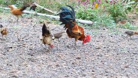 Κόκκορας και κότα που τρώνε το ρύζι φιλμ μικρού μήκους