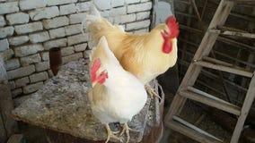 Κόκκορας και κότα στο σπίτι κοτών απόθεμα βίντεο
