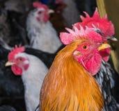Κόκκορας και κότα στο σπίτι κοτών στοκ φωτογραφίες