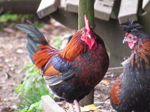 Κόκκορας και κότα Στοκ φωτογραφία με δικαίωμα ελεύθερης χρήσης
