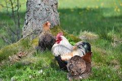 Κόκκορας και κότα Στοκ Φωτογραφία