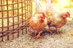 Κόκκορας και κότα Στοκ εικόνα με δικαίωμα ελεύθερης χρήσης