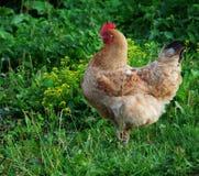 Κόκκορας και κότες που περπατούν στη χλόη Στοκ Εικόνες