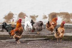 Κόκκορας και κότες Στοκ εικόνες με δικαίωμα ελεύθερης χρήσης