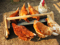 Κόκκορας και ραμφισμένο κότα σιτάρι από τη γούρνα στοκ εικόνα