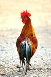 Κόκκορας, κόκκορας κοκκόρων πάλης κοτόπουλου στην επαρχία Ταϊλάνδη στοκ εικόνες