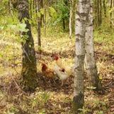 κόκκορας κοτόπουλου στοκ εικόνα με δικαίωμα ελεύθερης χρήσης