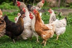 κόκκορας κοτόπουλων Στοκ Φωτογραφίες