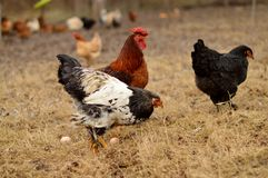 κόκκορας κοτόπουλων Στοκ φωτογραφία με δικαίωμα ελεύθερης χρήσης