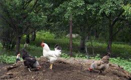 κόκκορας κοτόπουλων Στοκ εικόνα με δικαίωμα ελεύθερης χρήσης