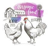 Κόκκορας κοτών κοτόπουλου, Στοκ εικόνες με δικαίωμα ελεύθερης χρήσης