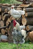 Κόκκορας, κότα Στοκ Εικόνες