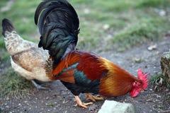 Κόκκορας με την κόκκινη CREST και την κότα Στοκ φωτογραφίες με δικαίωμα ελεύθερης χρήσης